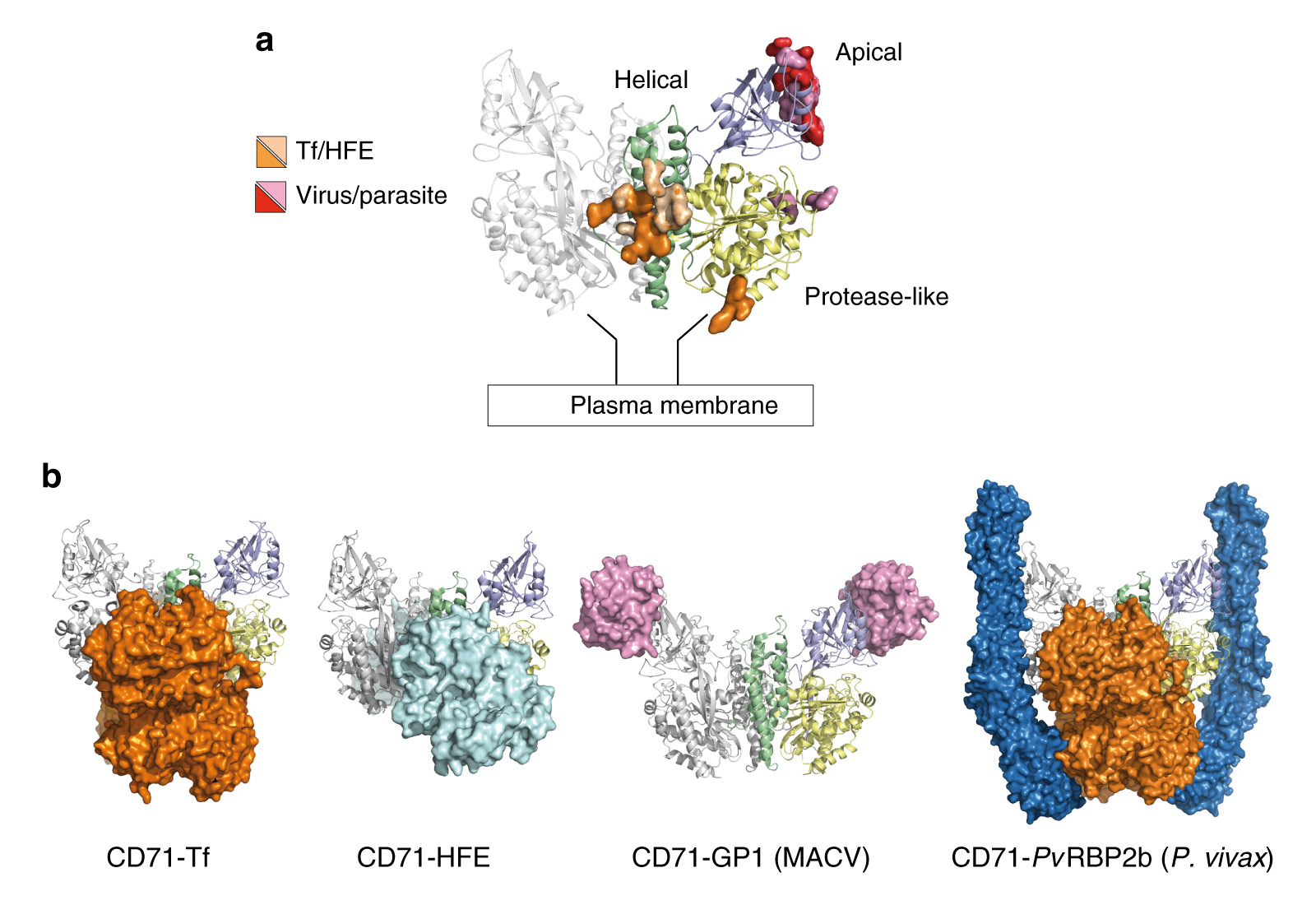 CD71 receptor- ligand recognition epitopes and binding modes