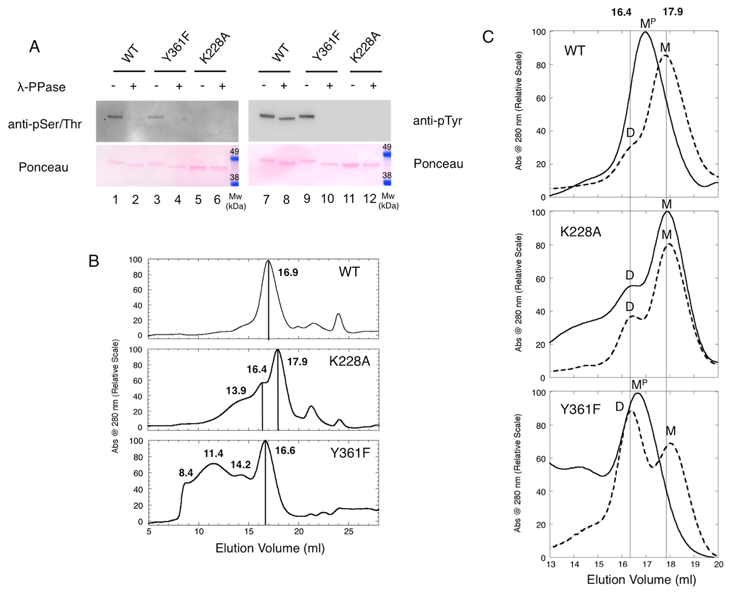 Effects of phosphorylations on HIPK2 KDom oligomerization.